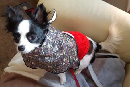 Emma my geocaching Chihuahua
